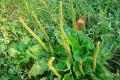 Piantaggine. Conoscete quest'erba? E' una potente pianta medicinale. Ecco le proprietà e come usarla!